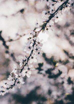 Cherry Blossom Photography